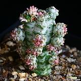 구갑기린 7|Euphorbia submamillaris