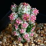 구갑기린 8|Euphorbia submamillaris