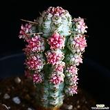 구갑기린 9|Euphorbia submamillaris