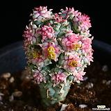 구갑기린 10|Euphorbia submamillaris