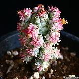 구갑기린 11|Euphorbia submamillaris