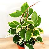 [공기정화식물]Hoya carnosa(포트10cm)