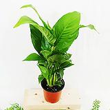 [공기정화식물] 스파트필름 (포트10cm)