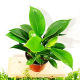 [공기정화식물] 콩고 (포트10cm) 