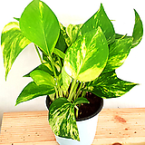 [공기정화식물] 마블 스킨답서스 (포트10cm) 