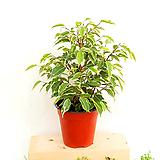 [공기정화식물] 칼라벤자민 (포트12cm) 