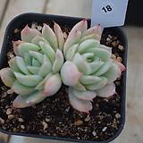 (1月)트윈베리18|Echeveria Twin Berry