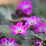 아게보쥐손이(소품)-진분홍의 꽃 색감이 이쁜 쥐손이~|