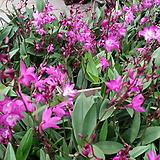 긴기아난.진핑크(아주좋은향).여성스러운색.꽃대있습니다.잎도까끔함.가격대비물건좋음.