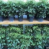 작지만 풍성한 녹보수 부귀수 해피트리 공기정화식물 실내식물|happy tree