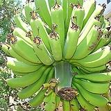 바나나 나무 -식용열매-공기정화에탁월|
