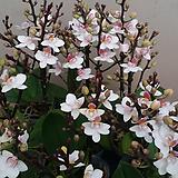 호접란(네추럴흰색)(꽃형 미니귀여운형).작은품종.귀한품종.상태굿..|