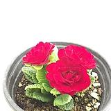 발레리나 앵초|Aeonium ballerina