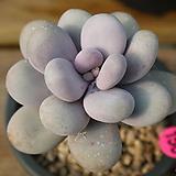염미인156 Pachyphytum oviferum