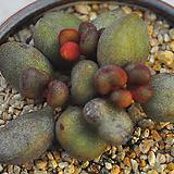 리틀스페로이드(A016)|Echeveria minima hyb Roid
