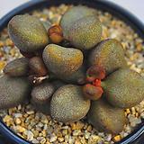 리틀스페로이드(A017)|Echeveria minima hyb Roid