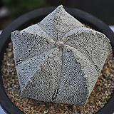 온즈카난봉옥(A025)|Astrophytum myriostigma cv. ONZUKA