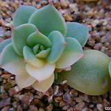 블루에뜨금5013|Echeveria peacockckii bluete