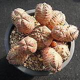 오베사 0122|Baseball Plant (Euphorbia obesa)