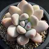 후레뉴 0122|Pachyphtum cv Frevel