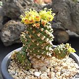 괴마옥 0122|Euphorbia hypogaea