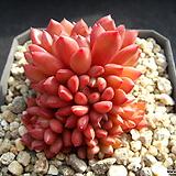핑크루비 0122|Sedeveria pink rubby