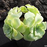 기간티아(적심) 0122|Greenovia diplocycla var.gigantea