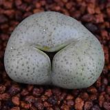 Conophytum truncatum(트런카튬) 301|