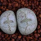 Conophytum braunsii 브라운시 302|