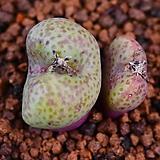 Conophytum truncatum roodiae 루디아에 304|