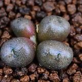 C.ectipum ssp. limbatum 엑티품 림바툼 309|