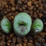 C.obscrum auriflorum 아우리플로럼 319|