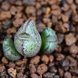 Conophytum albiflorum (알비플로룸) 321|