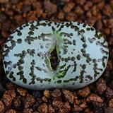 Conophytum obcordellum R&Y1989 (옵코델룸R&Y1989) 327|