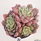 (신품종)에쿠스hyb 39|Echeveria Subcorymbosa Lau 030
