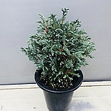 블루버드 비단삼나무|