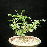 사르코카울론 반데리에티에-1(sarcocaulon vanderietiae-1.22) 