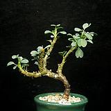 사르코카울론 반데리에티에-2(sarcocaulon vanderietiae-1.22) 