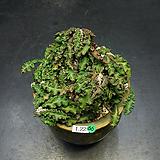 Euphorbia decaryi(유포르비아 데카리-1.22) 