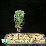 Eriospermum paradoxum(에리오스퍼뭄 파라독섬1.22) 