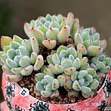 백금사황(오렌지색으로 물들어요!!)|Echeveria setosa Hybrid