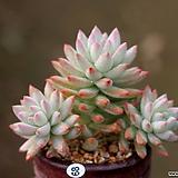 수빙|Sedeveria cv. Supar brow
