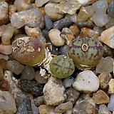 Conophytum obcordellum v.lambertense-3두(코노 옵코델룸1.22) 