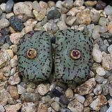 Conophytum obcordellum-2두(코노 옵코델룸1.22) 