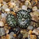 Conophytum obcordellum ursprungianum-2두(코노피튬 우르스-흑점1.22) Conophytum