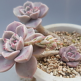 일본핑크프리티|Echeveria Pretty in  Pink