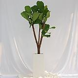떡갈고무나무 특대형 화이트화분|Ficus elastica