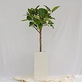 뱅갈고무나무 대형 화이트화분|Ficus elastica