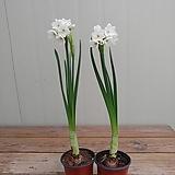 향수선화 꽃대|
