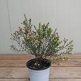 (단품)왁스플라워 외목대 중품 #2|Echeveria agavoides Wax